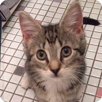 Domestic Shorthair Kitten for adoption in Long Beach, New York - Nuzzle Beans