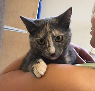 Domestic Shorthair Kitten for adoption in Baton Rouge, Louisiana - Scarlett