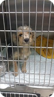 Yorkie, Yorkshire Terrier/Terrier (Unknown Type, Small) Mix Dog for adoption in Pikeville, Maryland - Waylon