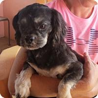 Adopt A Pet :: Bryson - Salem, NH