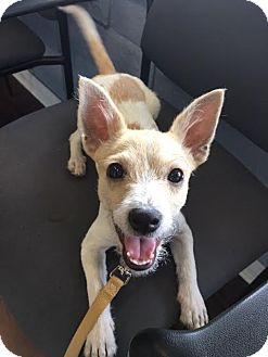 Jack Russell Terrier/Chihuahua Mix Puppy for adoption in Redondo Beach, California - Rex