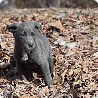 Adopt A Pet :: whistler - South Dennis, MA