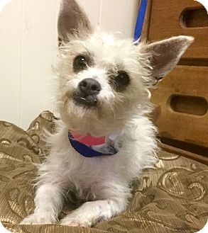 Terrier (Unknown Type, Small)/Poodle (Miniature) Mix Dog for adoption in Phoenix, Arizona - Madison