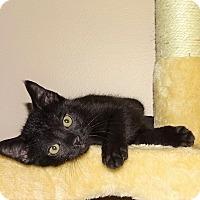 Adopt A Pet :: Sir Purrs-a-lot-  Born Mar 22 - Taylor Mill, KY