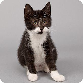 Domestic Shorthair Kitten for adoption in Wilmington, Delaware - Baby Groot