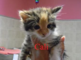 Domestic Shorthair/Domestic Shorthair Mix Kitten for adoption in Franklin, North Carolina - CALI