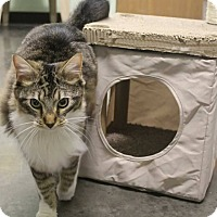 Adopt A Pet :: Mr. Fluffington - Murphysboro, IL