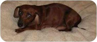 Dachshund Dog for adoption in Upper Marlboro, Maryland - GRACE