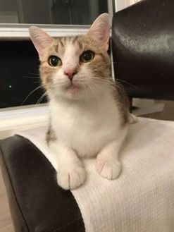 Domestic Shorthair/Domestic Shorthair Mix Cat for adoption in THORNHILL, Ontario - MARTHA