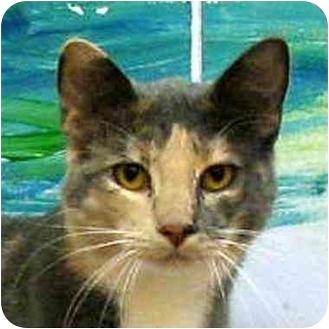 Calico Cat for adoption in Denver, Colorado - Lorissa