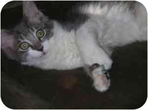 Hemingway/Polydactyl Kitten for adoption in Davis, California - Tortellini
