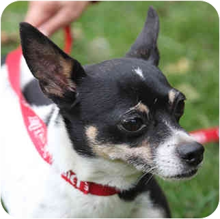 Rat Terrier Mix Dog for adoption in PRINCETON, New Jersey - Shane