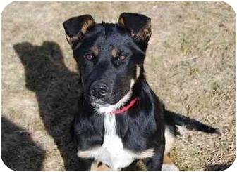 Shepherd (Unknown Type)/Australian Cattle Dog Mix Puppy for adoption in Broomfield, Colorado - Poppy