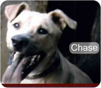 Pit Bull Terrier/Labrador Retriever Mix Dog for adoption in Muskogee, Oklahoma - Chase