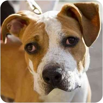 American Pit Bull Terrier/Mastiff Mix Dog for adoption in Berkeley, California - French