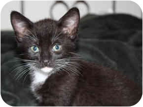 Domestic Shorthair Kitten for adoption in Tampa, Florida - Peppermint Patti