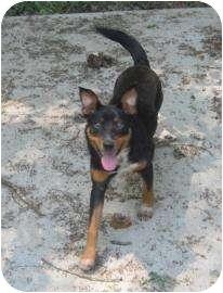 Australian Cattle Dog Mix Dog for adoption in Brattleboro, Vermont - Mintie