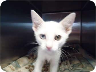 Domestic Shorthair Cat for adoption in Turlock, California - 0721-1112