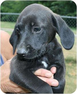 Labrador Retriever/Hound (Unknown Type) Mix Puppy for adoption in Staunton, Virginia - Milou