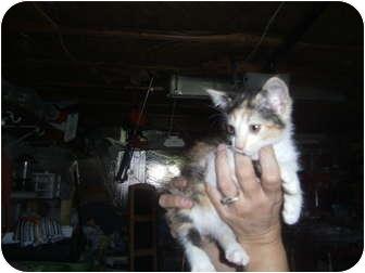 Calico Kitten for adoption in York, Pennsylvania - Cali