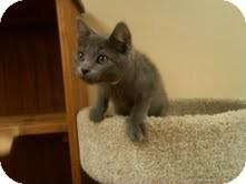Domestic Shorthair Kitten for adoption in Medina, Ohio - Radar