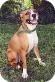 Boxer Mix Dog for adoption in Plainfield, Illinois - Sugar