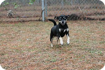 Chihuahua Mix Dog for adoption in Albany, Georgia - Eclipse