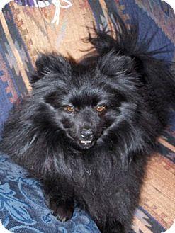Pomeranian/Pomeranian Mix Dog for adoption in Hesperus, Colorado - TANGEE