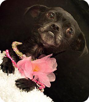 Chihuahua Dog for adoption in Bridgeton, Missouri - Sasha