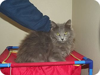 Domestic Longhair Kitten for adoption in Marshall, Texas - Grayson
