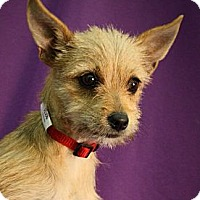 Adopt A Pet :: Dijon - Broomfield, CO