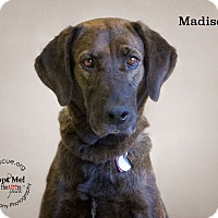 Adopt A Pet :: Madison - Phoenix, AZ