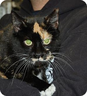 Domestic Shorthair Cat for adoption in Brooklyn, New York - Butterscotch