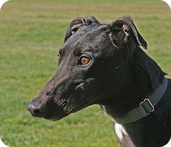 Greyhound Dog for adoption in Portland, Oregon - Tina