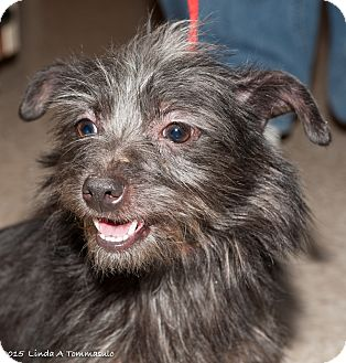 Terrier (Unknown Type, Small) Mix Dog for adoption in Loudonville, New York - katt