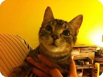 American Shorthair Cat for adoption in Cool Ridge, West Virginia - Iggy