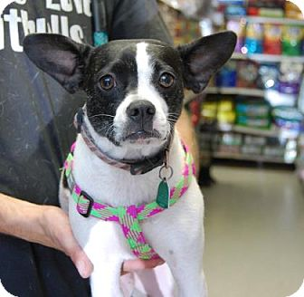 Boston Terrier Mix Dog for adoption in Brooklyn, New York - BB