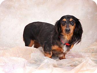 Dachshund Dog for adoption in Toronto, Ontario - Laverne