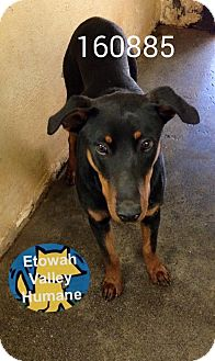 Doberman Pinscher Mix Dog for adoption in Boston, Massachusetts - Atticus