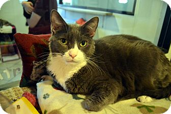 Domestic Shorthair Cat for adoption in Broadway, New Jersey - Joey