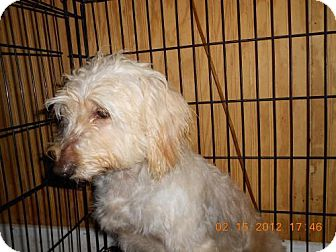 Poodle (Miniature)/Golden Retriever Mix Dog for adoption in Conway, Arkansas - Goldie