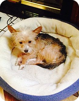 Yorkie, Yorkshire Terrier/Chihuahua Mix Dog for adoption in Hazard, Kentucky - Jet