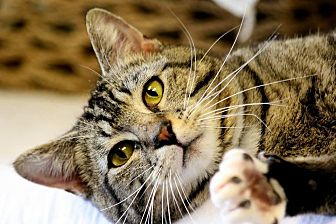 Domestic Shorthair Cat for adoption in Owenboro, Kentucky - MAYBE!