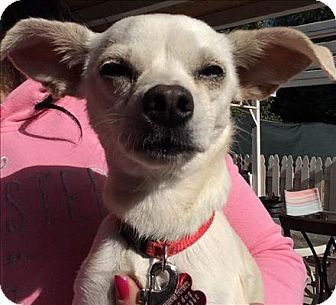 Chihuahua Mix Dog for adoption in Encino, California - Star