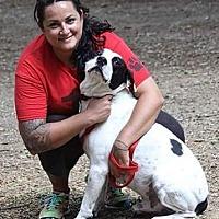 Pointer/Labrador Retriever Mix Dog for adoption in Rockaway, New Jersey - Bandit