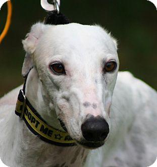 Greyhound Dog for adoption in West Palm Beach, Florida - MoMo