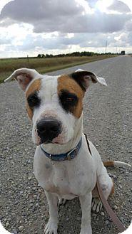 Pit Bull Terrier Dog for adoption in Calgary, Alberta - HELENA