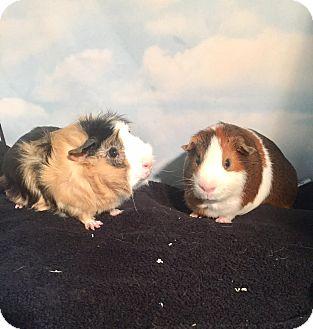 Guinea Pig for adoption in Aurora, Colorado - Sammie and Milo