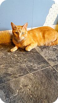 Domestic Shorthair Cat for adoption in Fairmont, West Virginia - Butterscotch