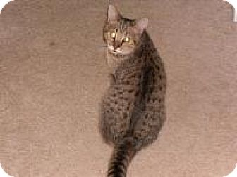"Abyssinian Cat for adoption in Sedalia, Missouri - Daniel&Cashmere ""Spec. Needs"""